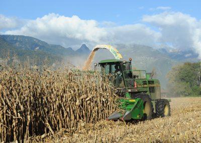 L'ensilage du maïs